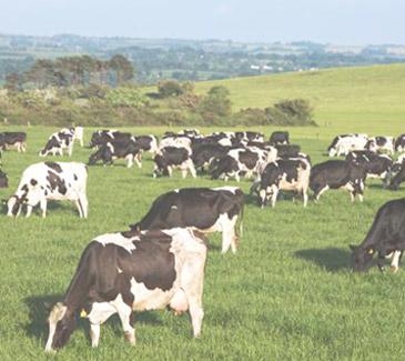 Futter und Haltung der Kühe beeinflussen Qualität und Inhaltsstoffe der Milch deutlich.